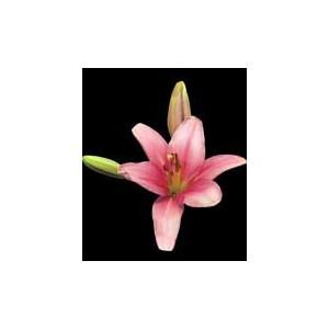 Лилия BrindisiЛилия Brindisi представлен на сайте доставки цветов grand-flora.ru в ознакомительных целях. Если вы хотите заказать букет цветов из лилий Brindisi просим уточнить наличие данного цветка у консультанта по тел.:<br> +7 (988) 744-...<br>