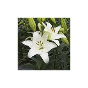 GonzagaЛилия Gonzaga представлен на сайте доставки цветов grand-flora.ru в ознакомительных целях. Если вы хотите заказать букет цветов из лилий Gonzaga просим уточнить наличие данного цветка  у консультанта по тел.:<br> +7 (988) 744-4...<br>