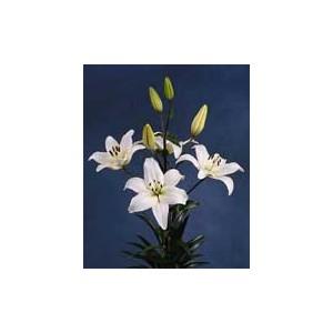 NavonaЛилия Navona представлен на сайте доставки цветов grand-flora.ru в ознакомительных целях. Если вы хотите заказать букет цветов из лилий Navona просим уточнить наличие данного цветка  у консультанта по тел.:<br> +7 (988) 744-46-...<br>