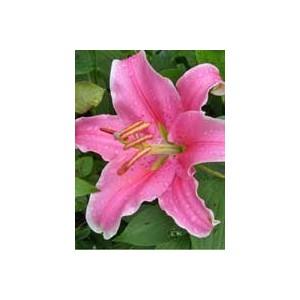 SorbonneЛилия Sorbonne представлен на сайте доставки цветов grand-flora.ru в ознакомительных целях. Если вы хотите заказать букет цветов из лилий Sorbonne просим уточнить наличие данного цветка  у консультанта по тел.:<br> +7 (988) 744...<br>
