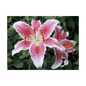 StarfighterЛилия Starfighter представлен на сайте доставки цветов grand-flora.ru в ознакомительных целях. Если вы хотите заказать букет цветов из лилий Starfighter просим уточнить наличие данного цветка  у консультанта по тел.:<br> +7 (98...<br>