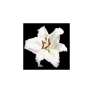 Лилия VespucciЛилия Vespucci представлен на сайте доставки цветов grand-flora.ru в ознакомительных целях. Если вы хотите заказать букет цветов из лилий Vespucci просим уточнить наличие данного цветка у консультанта по тел.:<br> +7 (988) 744-...<br>