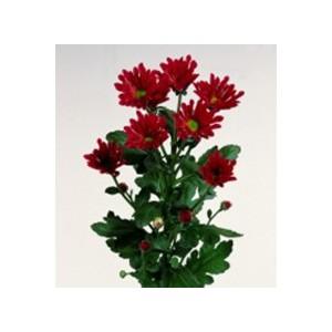 DublinХризантема Dublin представлен на сайте доставки цветов grand-flora.ru в ознакомительных целях. Если вы хотите заказать букет цветов из хризантем Dublin просим уточнить наличие данного цветка  у консультанта по тел.:<br> +7 (988...<br>