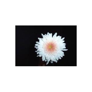 Eleonora SnowХризантема Eleonora Snow представлен на сайте доставки цветов grand-flora.ru в ознакомительных целях. Если вы хотите заказать букет цветов из хризантем Eleonora Snow просим уточнить наличие данного цветка  у консультанта по т...<br>