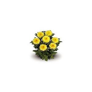 Eleonora YellowХризантема Eleonora Yellow представлен на сайте доставки цветов grand-flora.ru в ознакомительных целях. Если вы хотите заказать букет цветов из хризантем Eleonora Yellow просим уточнить наличие данного цветка  у консультанта ...<br>