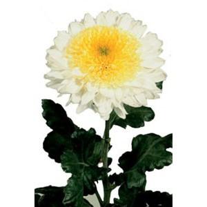 IngaХризантема Inga представлен на сайте доставки цветов grand-flora.ru в ознакомительных целях. Если вы хотите заказать букет цветов из хризантем Inga просим уточнить наличие данного цветка  у консультанта по тел.:<br> +7 (988) 74...<br>