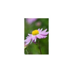LadyХризантема Lady представлен на сайте доставки цветов grand-flora.ru в ознакомительных целях. Если вы хотите заказать букет цветов из хризантем Lady просим уточнить наличие данного цветка  у консультанта по тел.:<br> +7 (988) 74...<br>