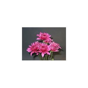Pink FlamencoХризантема Pink Flamenco представлен на сайте доставки цветов grand-flora.ru в ознакомительных целях. Если вы хотите заказать букет цветов из хризантем Pink Flamenco просим уточнить наличие данного цветка  у консультанта по т...<br>