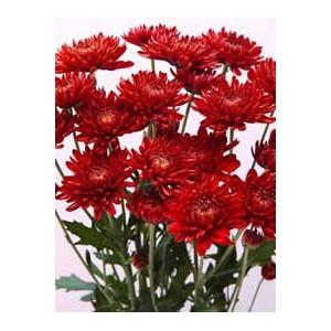 Red VirginiaХризантема Red Virginia представлен на сайте доставки цветов grand-flora.ru в ознакомительных целях. Если вы хотите заказать букет цветов из хризантем Red Virginia просим уточнить наличие данного цветка  у консультанта по тел...<br>