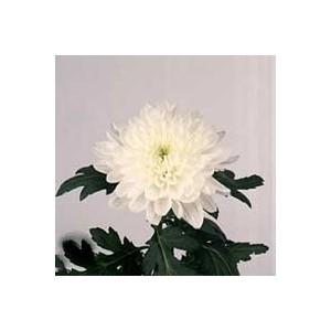 ZemblaХризантема Zembla представлен на сайте доставки цветов grand-flora.ru в ознакомительных целях. Если вы хотите заказать букет цветов из хризантем Zembla просим уточнить наличие данного цветка  у консультанта по тел.:<br> +7 (988...<br>