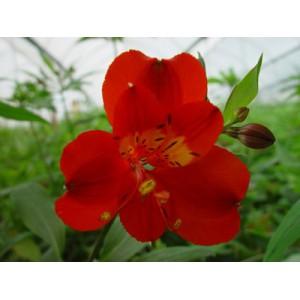 FuegoАльстромерия Fuego представлен на сайте доставки цветов grand-flora.ru в ознакомительных целях. Если вы хотите заказать букет цветов из альстромерии Fuego просим уточнить наличие данного цветка  у консультанта по тел.:<br> +7 (...<br>