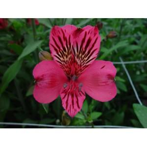 Альстромерия - NiseАльстромерия Nise представлен на сайте доставки цветов grand-flora.ru в ознакомительных целях. Если вы хотите заказать букет цветов из альстромерии Nise просим уточнить наличие данного цветка у консультанта по тел.:<br> +7 (988...<br>
