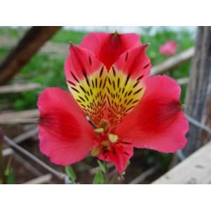 RosetteАльстромерия Rosette представлен на сайте доставки цветов grand-flora.ru в ознакомительных целях. Если вы хотите заказать букет цветов из альстромерии Rosette просим уточнить наличие данного цветка  у консультанта по тел.:<br> ...<br>
