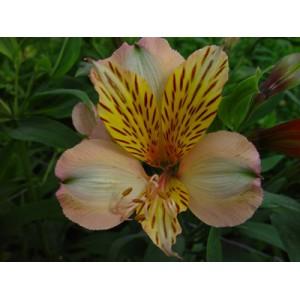 TobagoАльстромерия Tobago представлен на сайте доставки цветов grand-flora.ru в ознакомительных целях. Если вы хотите заказать букет цветов из альстромерии Tobago просим уточнить наличие данного цветка  у консультанта по тел.:<br> +7...<br>