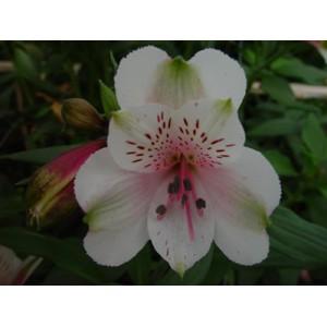 ДавосАльстромерия Давос представлен на сайте доставки цветов grand-flora.ru в ознакомительных целях. Если вы хотите заказать букет цветов из альстромерии Давос просим уточнить наличие данного цветка  у консультанта по тел.:<br> +7 (...<br>