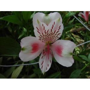 КаприАльстромерия Капри представлен на сайте доставки цветов grand-flora.ru в ознакомительных целях. Если вы хотите заказать букет цветов из альстромерии Капри просим уточнить наличие данного цветка  у консультанта по тел.:<br> +7 (...<br>