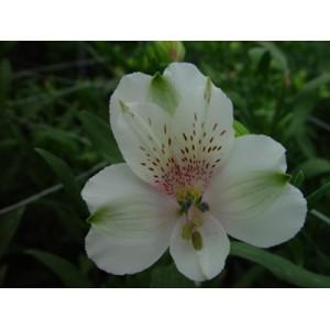 СноуболАльстромерия Сноубол представлен на сайте доставки цветов grand-flora.ru в ознакомительных целях. Если вы хотите заказать букет цветов из альстромерии Сноубол просим уточнить наличие данного цветка  у консультанта по тел.:<br> ...<br>