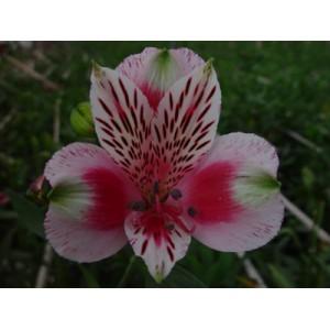 ЦиркусАльстромерия Циркус представлен на сайте доставки цветов grand-flora.ru в ознакомительных целях. Если вы хотите заказать букет цветов из альстромерии Циркус просим уточнить наличие данного цветка  у консультанта по тел.:<br> +7...<br>