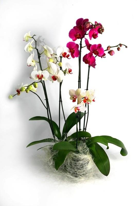 Купить Phalaenopsis