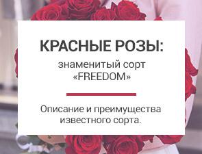 Красные розы сорт