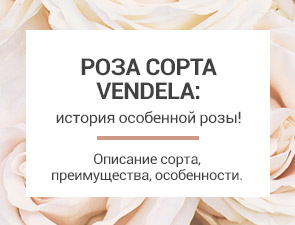 Роза белая сорт