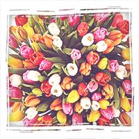 Разноцветны тюльпаны с бесплатной доставкой